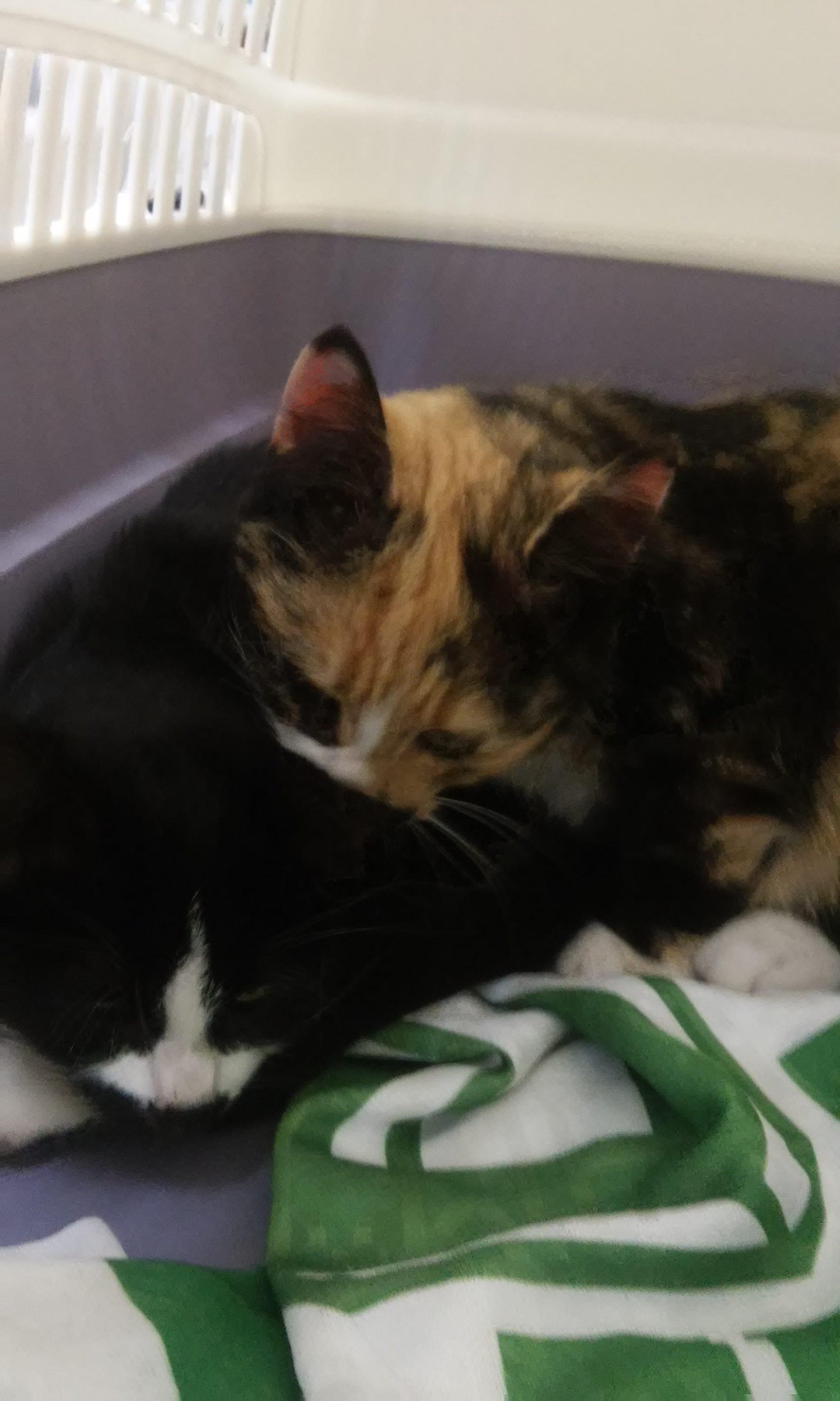 SONO STATI ADOTTATI Queste 2 micine sono in cerca di casa, sono 2 femminucce. Hanno 3 mesi. Sono molto dolci.