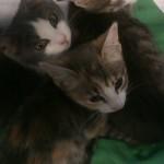 SONO STATI ADOTTATI. 2 femminucce e 1 maschietto di circa 3 mesi(ADOTTATI)